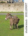herd of free roaming semi feral ...   Shutterstock . vector #1031139097