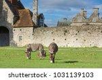herd of free roaming semi feral ...   Shutterstock . vector #1031139103