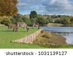 herd of free roaming semi feral ...   Shutterstock . vector #1031139127
