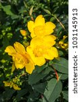 Goldencup St. Johns Wort ...