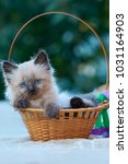 Stock photo balinese kitten sits in a basket with green and purple ribbons outdoors in the garden green bokeh 1031164903