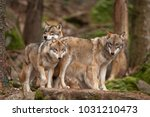 gray wolf  grey wolf  canis... | Shutterstock . vector #1031210473