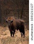 european bison  bison bonasus ... | Shutterstock . vector #1031211127