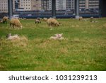 sheep on the meadow in front of ... | Shutterstock . vector #1031239213