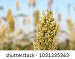 close up millet or sorghum an... | Shutterstock . vector #1031335363