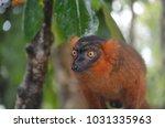 Small photo of Nosy, Orange-Eyed Red Ruffed Lemur with Matching Fuzzy Fur, Palmarium Reserve, Madagascar