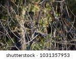 dainty chirpy  little ... | Shutterstock . vector #1031357953