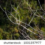 dainty chirpy  little ... | Shutterstock . vector #1031357977