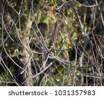 dainty chirpy  little ... | Shutterstock . vector #1031357983