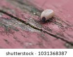 Small photo of american dog tick