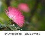 Pink Powderpuff Blooming ...