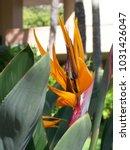 hawaiian flowers on kauai ...   Shutterstock . vector #1031426047