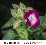 Small photo of Violet torenia flower.