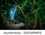 agami heron  agamia agami  bird ... | Shutterstock . vector #1031489893