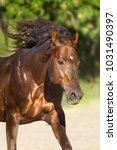 Small photo of Red horse with long mane run free