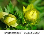 Globe-flower, blooming in moist areas - stock photo