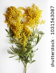 yellow mimosa on a white... | Shutterstock . vector #1031563087