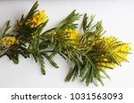 yellow mimosa on a white... | Shutterstock . vector #1031563093