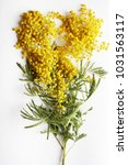 yellow mimosa on a white... | Shutterstock . vector #1031563117