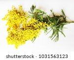 yellow mimosa on a white... | Shutterstock . vector #1031563123