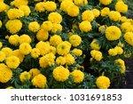 Marigolds Tagetes Erecta  The...