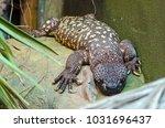 A Beaded Lizard Heats Itself O...
