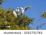 cattle egret  bubulcus ibis...   Shutterstock . vector #1031731783