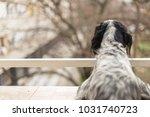 gorgeous dog  an english setter ... | Shutterstock . vector #1031740723