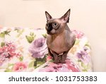 bald cat is sitting on the sofa ... | Shutterstock . vector #1031753383