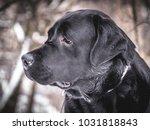 portrait of black labrador... | Shutterstock . vector #1031818843