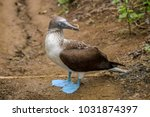 portrait of a blue footed booby ... | Shutterstock . vector #1031874397