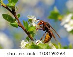 Wasp collecting nectar and pollen on cherry flowers - stock photo