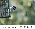 An Adorable Black Capped...