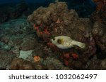 blackspotted pufferfish at... | Shutterstock . vector #1032062497