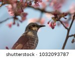 brown eared bulbul visiting... | Shutterstock . vector #1032093787