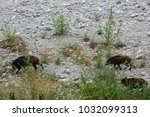 wild boar came downstream to... | Shutterstock . vector #1032099313