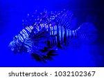 pterois zebrafish  firefish ... | Shutterstock . vector #1032102367
