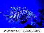 pterois zebrafish  firefish ... | Shutterstock . vector #1032102397