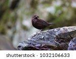 brown dipper  cinclus pallasii  ... | Shutterstock . vector #1032106633