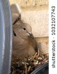 a collared dove sits on the... | Shutterstock . vector #1032107743
