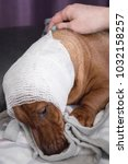 Small photo of brown dachshund with white bandage around his hed lying on the bed