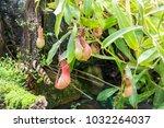 nepenthes. little predatory... | Shutterstock . vector #1032264037