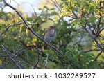 common nightingale or simply... | Shutterstock . vector #1032269527