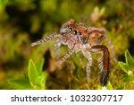 saitis barbipes male ... | Shutterstock . vector #1032307717