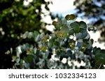 eucalyptus cinerea in the field | Shutterstock . vector #1032334123