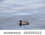 a lone drake swims along the... | Shutterstock . vector #1032352213