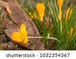 crocus  plural crocuses or... | Shutterstock . vector #1032354367