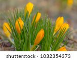 crocus  plural crocuses or... | Shutterstock . vector #1032354373