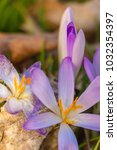 crocus  plural crocuses or... | Shutterstock . vector #1032354397