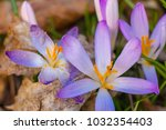 crocus  plural crocuses or... | Shutterstock . vector #1032354403